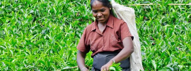 חוות גידולי התבלינים בדמבולה