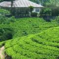 ביקור במפעל התה בנוארה אליה